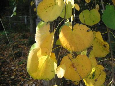 カツラ (植物)の画像 p1_21