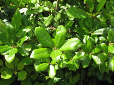 ウバメガシの画像 p1_21