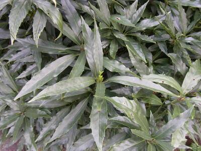 アオキ (植物)の画像 p1_30