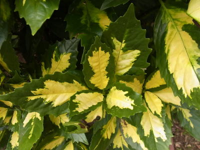 アオキ (植物)の画像 p1_23